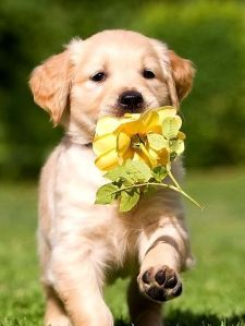 yellow-roses-golden-retriever-puppies